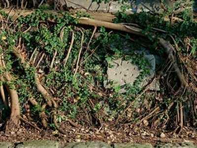 什么除草剂对杨树危害大 3天可杀死树根